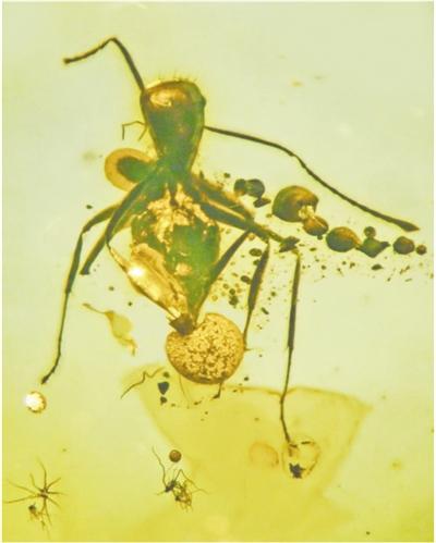 研究人员在蚂蚁身上发现新型子囊菌 真菌寄生可将蚂蚁失去自主意识